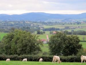 Charolais koeien in de Auvergne